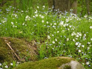 kvetoucí-lesokolí-penzionu-Fořtovna-Písecko